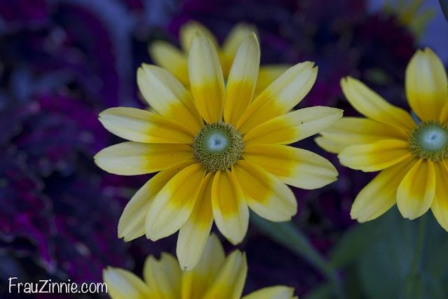 Floral Friday Bright colors Frau Zinnie