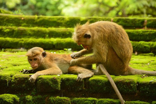 Monkeys at Polonnaruwa