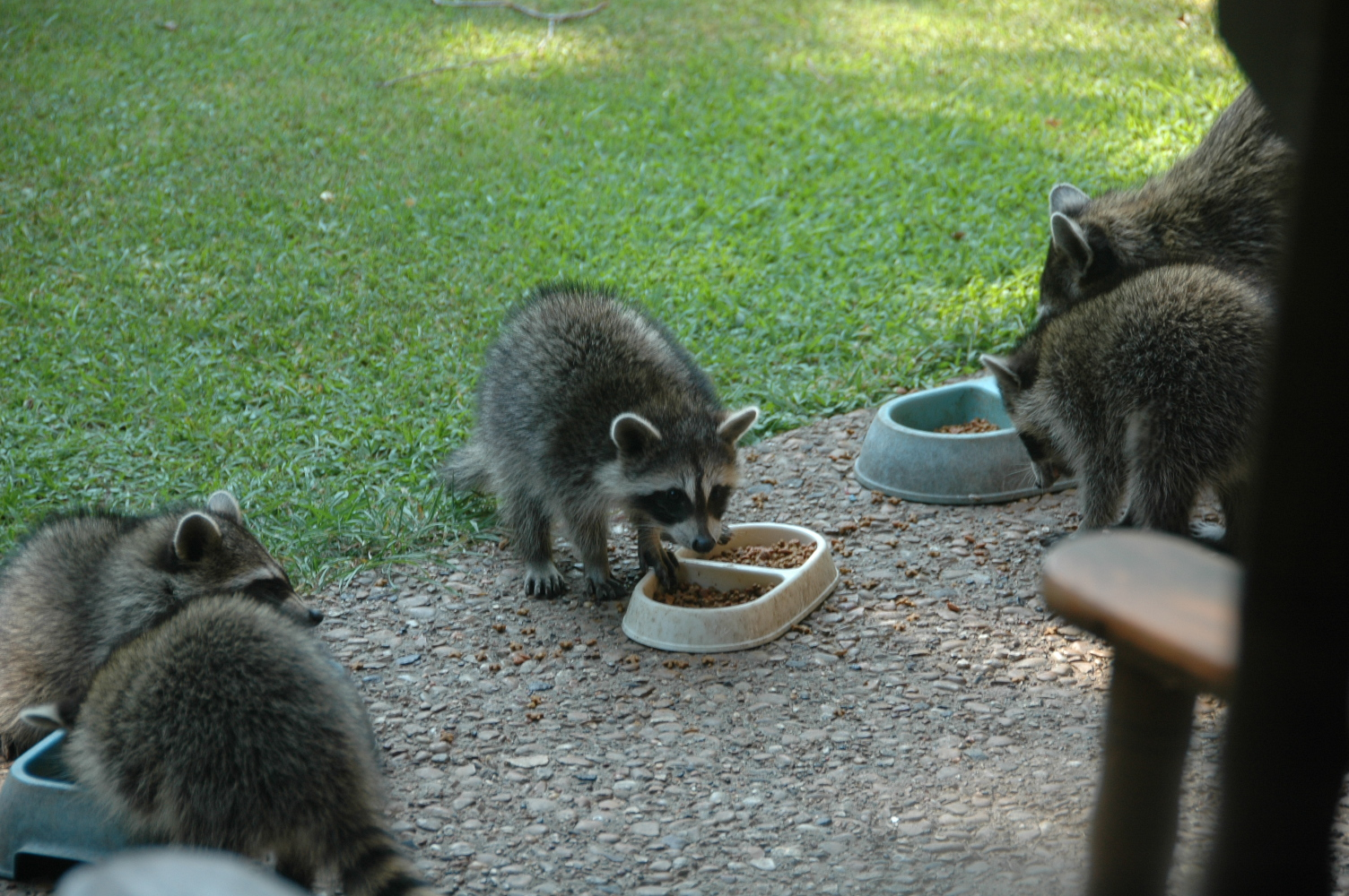 Cats, Coffee, and Chocolate...: Coons and cats and kittens ...