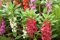 Kına çiçeği bitkisi ve çeşitli renklerdeki çiçekleri