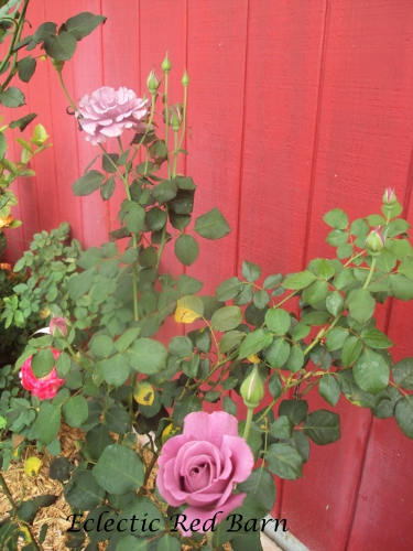 Pink rose bush with many buds