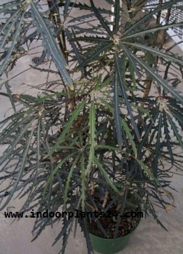 Dizygotheca Elegantissima INDOOR PLANT POTTED