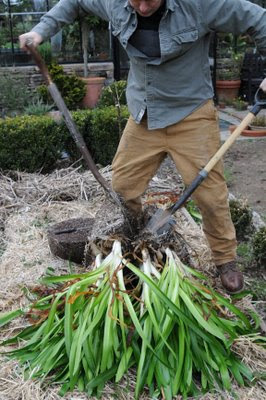 Growing Agapanthus from seed