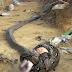Hình ảnh về trận chiến khốc liệt giữa rắn hổ mang và trăn khổng lồ