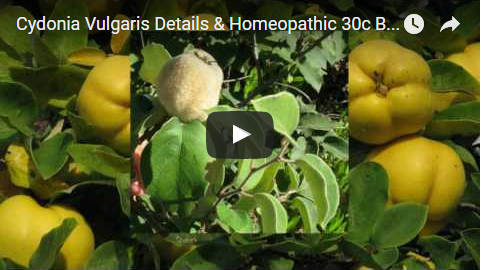 Homeopathic medicine cydonia vulgaris 30c benefits