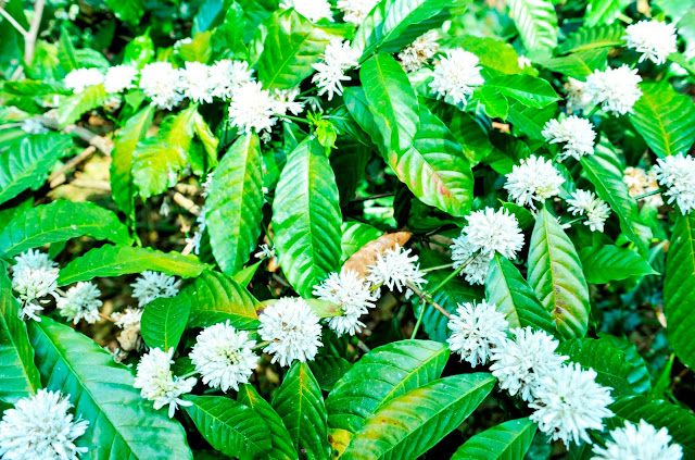 Coffee Flowers, Resort in Coorg, Coffee blossoms