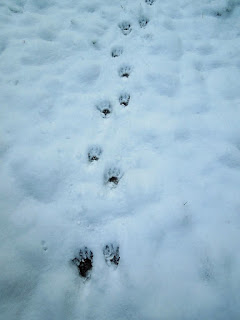 raccoon footprints in the snow