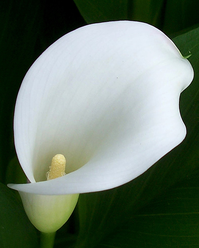 Calla Plant: Peace Lily Plant Benefits Information