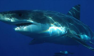 Great-white-shark-القرش-الأبيض-الكبير
