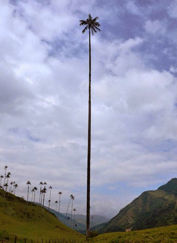 The Tallest Palm Tree In The World