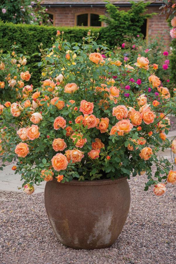 Rosal ingles flores naranja en contenedor o maceta de barro