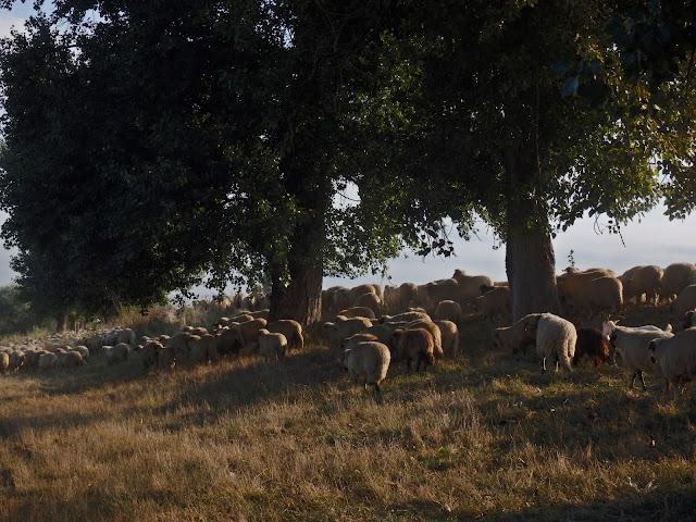 Rumuńskie owce - 1.09, nasz biwak :)
