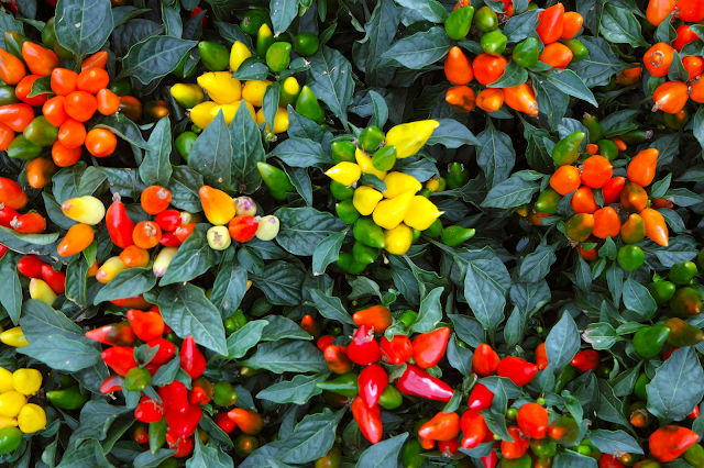 a variety of small red, yellow, and orange peppers on bushes