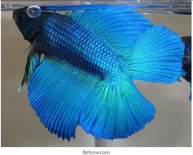 Usaha Ikan Hias