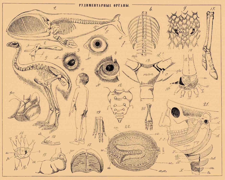рудиментарные органы