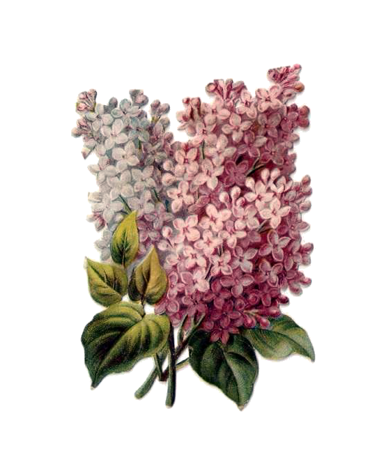 http://2.bp.blogspot.com/-jlXYDQvPHQw/TefkRFoQx4I/AAAAAAAACjg/crBoMZM-wPM/s320/penny_plain_victorian_scraps_flowers_lilac_001png.png