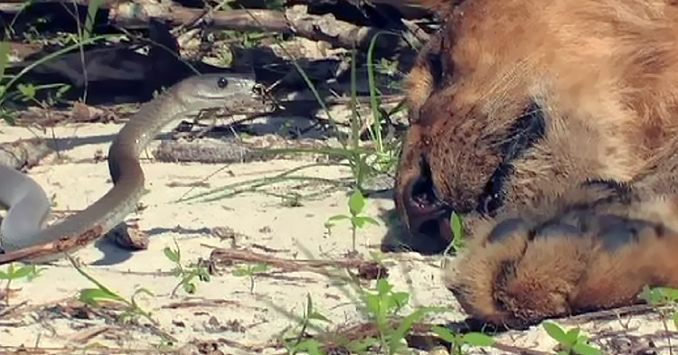 See how this snake bites a sleeping lion