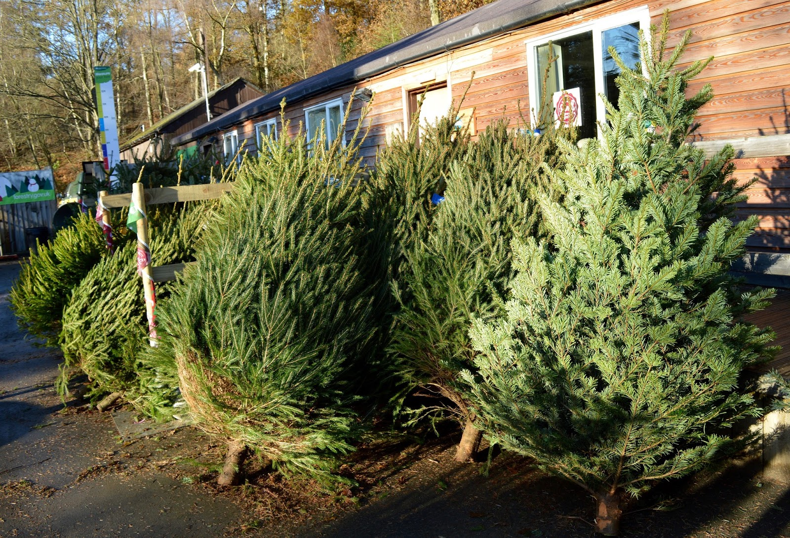 Why you should choose a real, sustainable Christmas tree from a Forestry Commission Forest (Hamsterley Forest in Durham and Kielder Forest in Northumberland) - trees on display