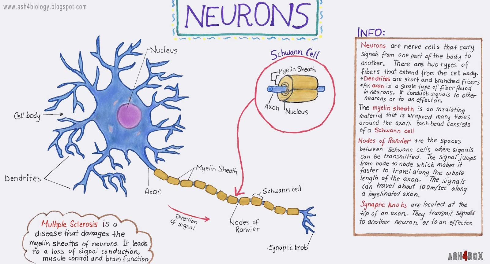 Biology Neurons Structure And Info Worksheet