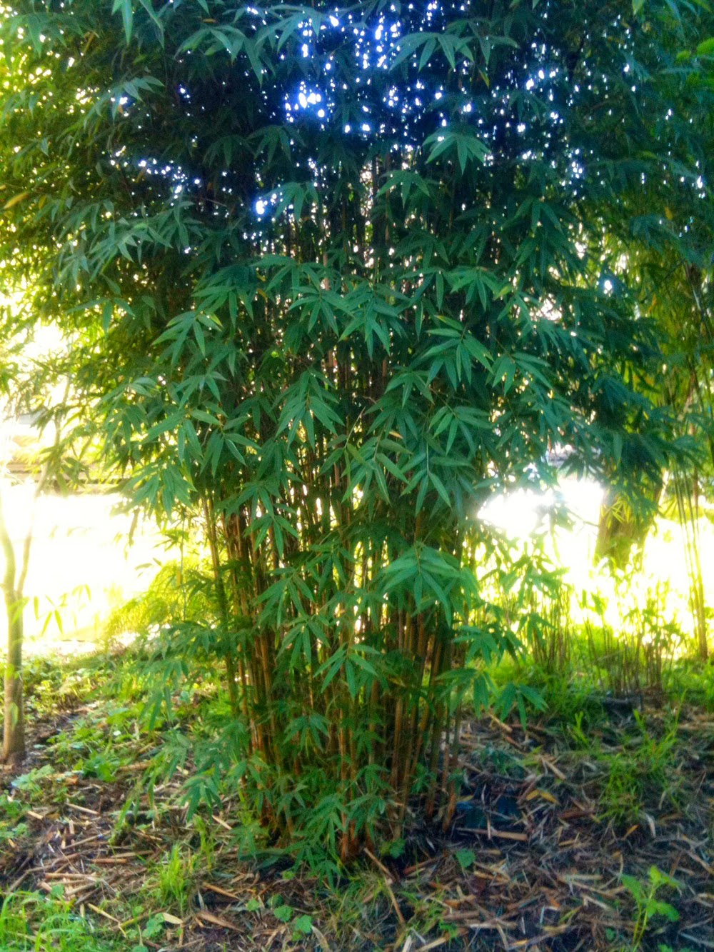 Foliage of the candy cane bamboo