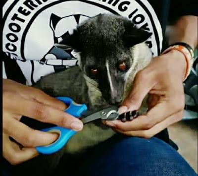 cara menjinakkan musang liar, memotong kuku musang