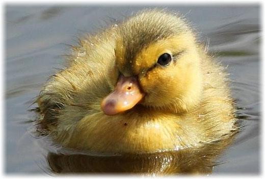Porque Os Patos Não Afundam Na água??