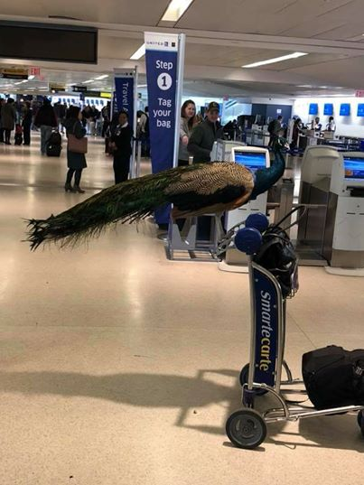 woman tried to board peacock