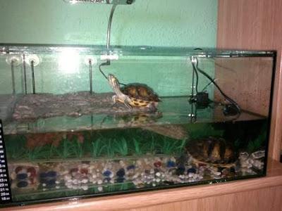 tortugas-orejas-amarillas-cuidados-acuario-habitat-adecuado