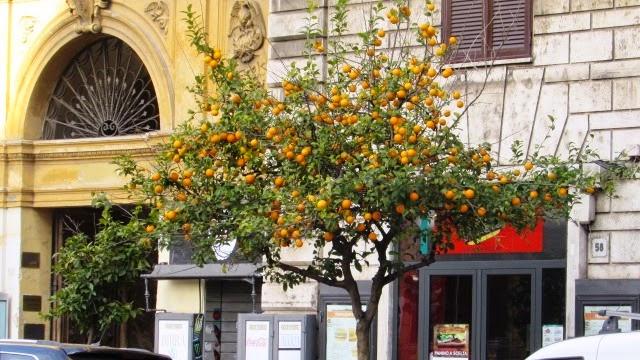 drzewo mandarynkowe