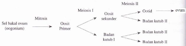 Skema proses pembentukan sel telur