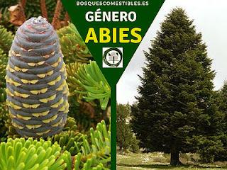El género Abies, arboles perennifolios conocidos como Abetos