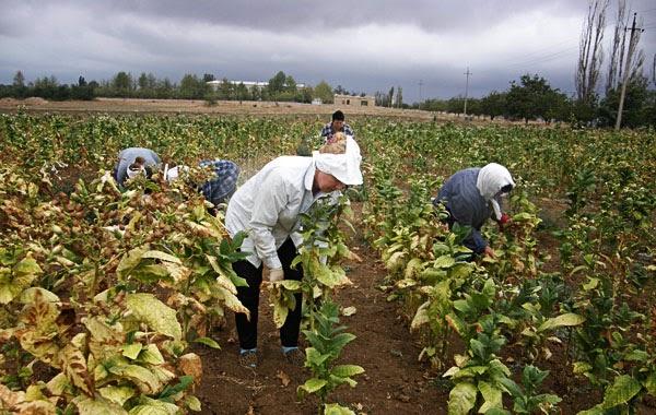 Сбор табака в Крыму
