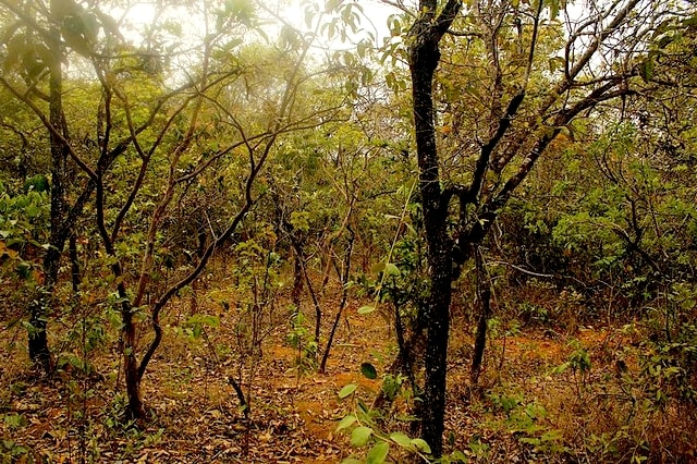 Interior de cerrado típico na Floresta Nacional de Paraopeba, MG. Fonte: https://pt.wikipedia.org/wiki/Cerrado_t%C3%ADpico#/media/File:Flona_Paraopeba_-_Meio_do_cerrado.jpg