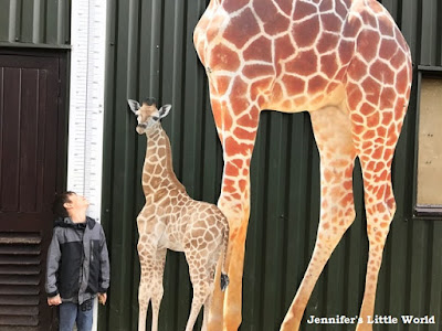 Giraffe measure at Whipsnade Zoo