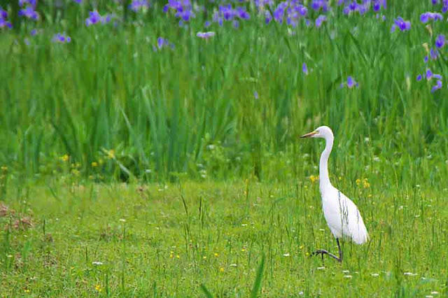 White Egret near iris field