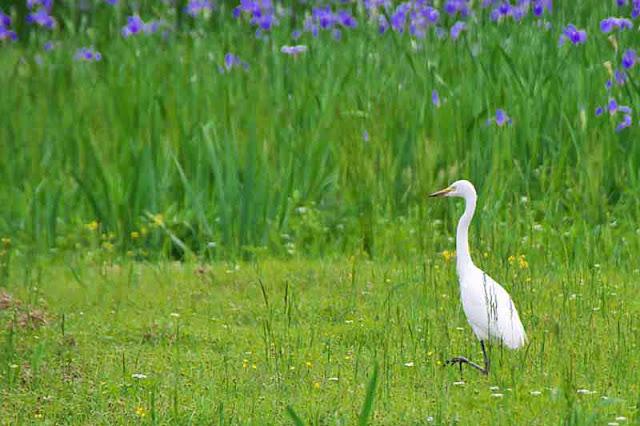White Egret near iris field