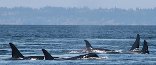 orcas, orca pod, Puget Sound orcas, killer whales