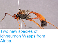 http://sciencythoughts.blogspot.co.uk/2014/12/two-new-species-of-ichneumon-wasps-from.html