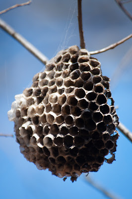 Wasp Nest, Lewisville Lake Environmental Learning Area