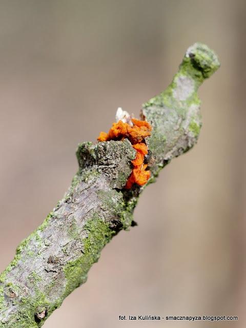 grzyby, nadrzewniaki, wiosna, oznaki wiosny, las bemowski, lasy miejskie, spacer po lesie, poszukiwanie wiosny, wycieczka do lasu, grzybobranie