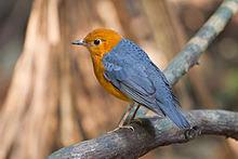 Karena burung kecil ini mempunyai bulu kepala berwarna orange Mengenal Burung Anis Merah