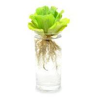 gambar akar tanaman apu-apu
