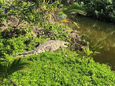 cocodrilo en las cienagas de cabo san juan