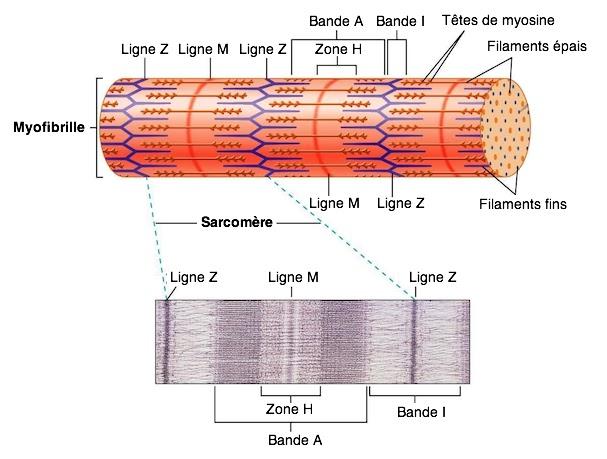sarcomère myofibrille schéma infirmier bandes stries myofilaments