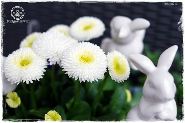 Gartenblog Topfgartenwelt Osterdeko: Bellis und weiße Porzellanhasen für den Eingangsbereich