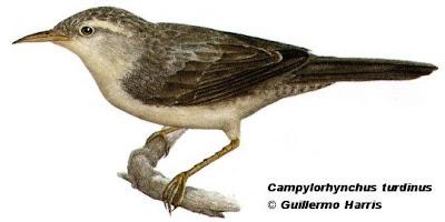 Ratona grande Campylorhynchus turdinus