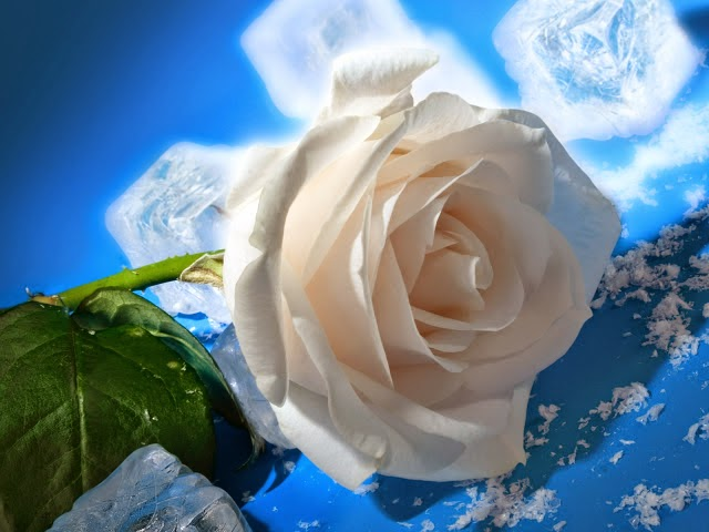 Hoa hồng trắng tinh khôi