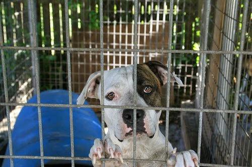 Adoptar perros labradores