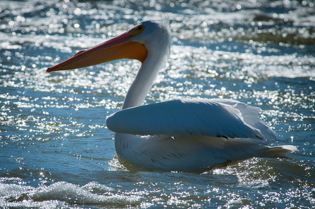 American White Pelican, Lewisville Lake Environmental Learning Area