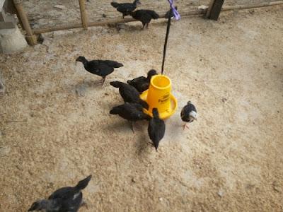 Beternak Ayam Kampung dan Itik